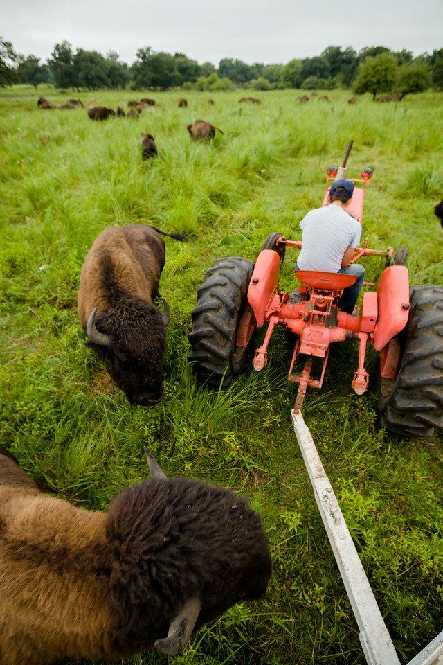 Buffalo roaming in a field