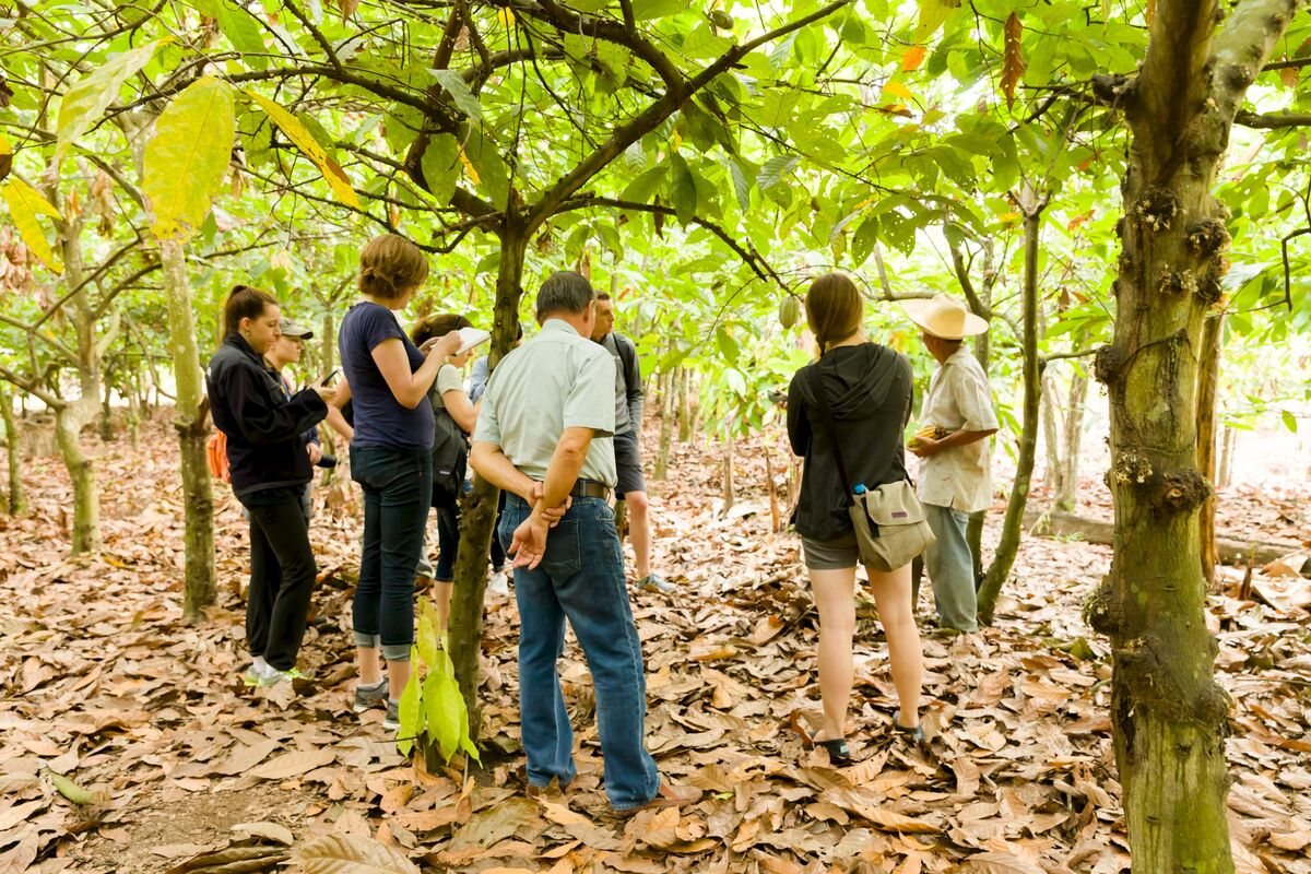 cacao growers